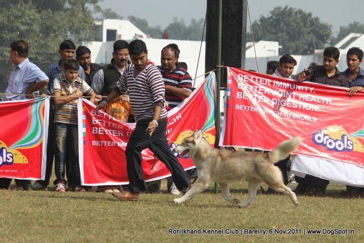 siberian,sw-41,, Bareilly Dog Show 2011, DogSpot.in