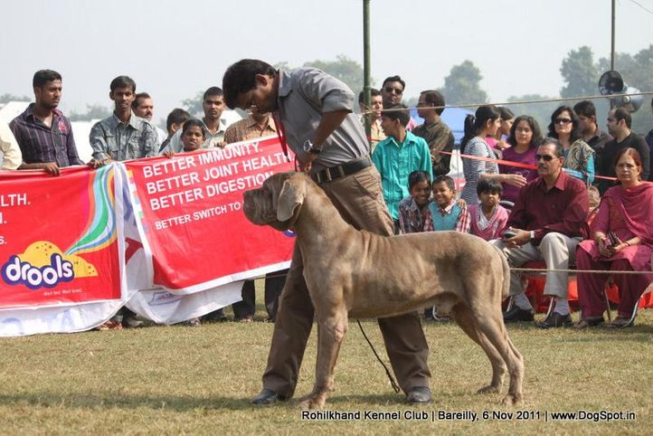 mastiff,sw-41,, Bareilly Dog Show 2011, DogSpot.in