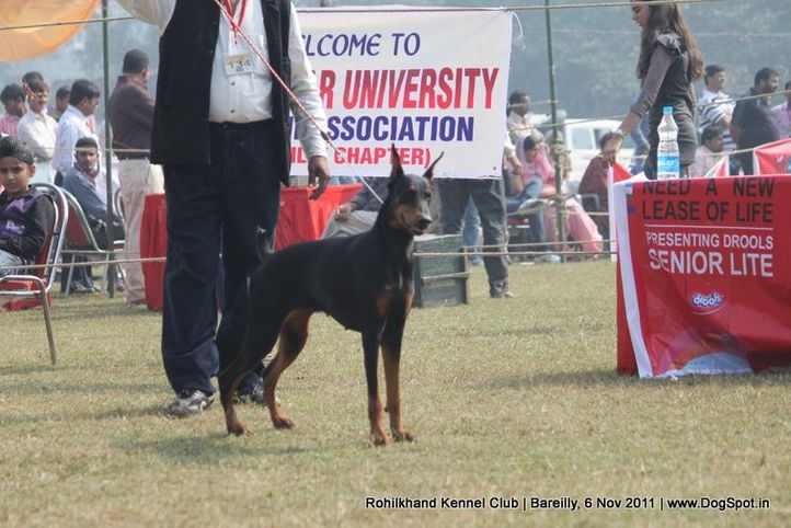 doberman,ex-134,sw-41,, HALLE BERRY, Doberman Pinscher, DogSpot.in