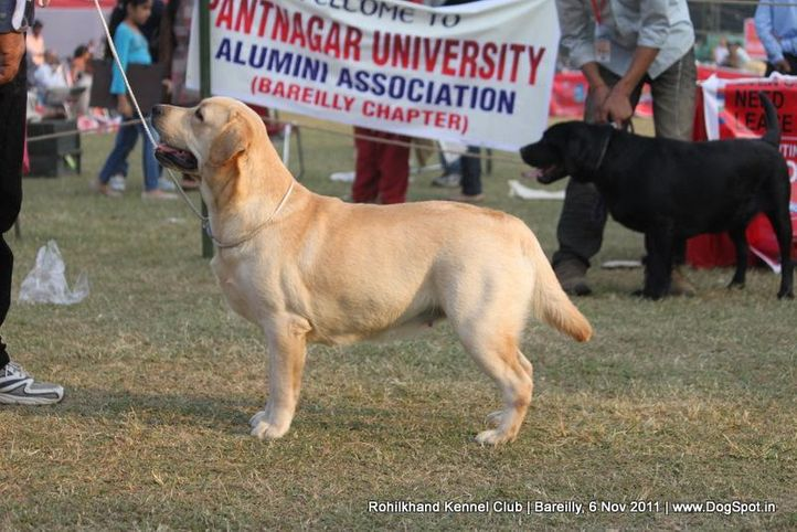 labrador,sw-41,, Bareilly Dog Show 2011, DogSpot.in