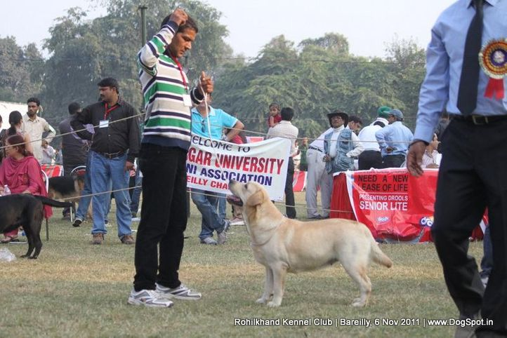labrador,sw-41,, Bareilly Dog Show 2011, DogSpot.in