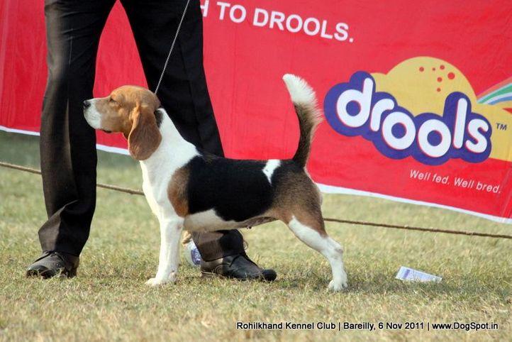 beagle,ex-52,sw-41,, BLUE BELL'S JASSSI, Beagle, DogSpot.in