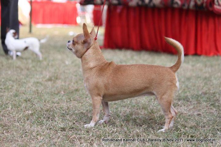 ex-3,sw-41,, TOP NOTCH'S NEFERTITI, Chihuahua (Smooth Coat), DogSpot.in