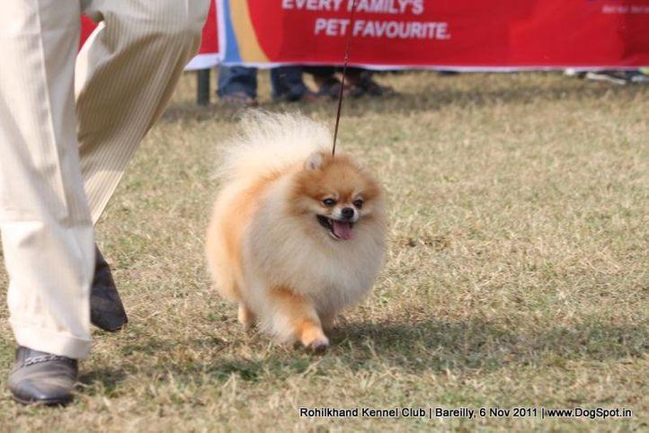 ex-5,pomeranian,sw-41,, TH. CH. GOLDEN STAR'S IT'S SHOW TIME, Pomeranian, DogSpot.in