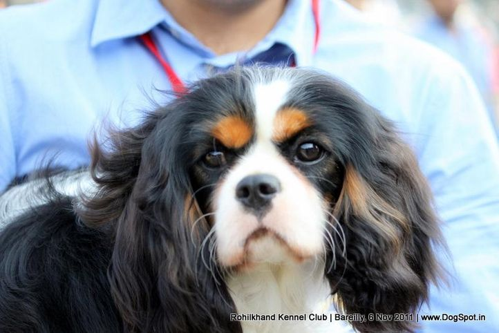 ex-212,sw-41,king charles spaniel, Bareilly Dog Show 2011, DogSpot.in