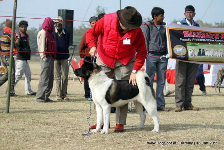 sw-14, akita,ex-28,, CROWN ROYALS STEALIN KISSES AT ASHRA FARM, Akita, DogSpot.in
