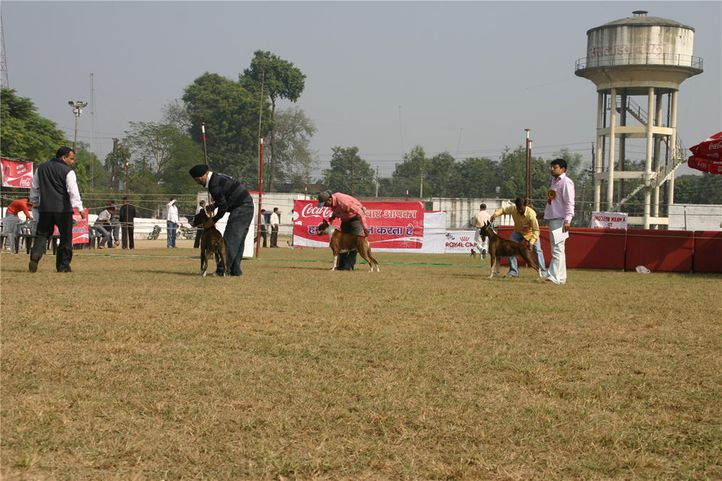 boxer, 140, Bareilly Dog Show, DogSpot.in