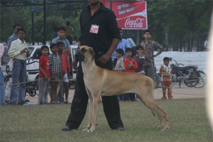 lineup,greatdane,138,, Bareilly Dog Show, DogSpot.in