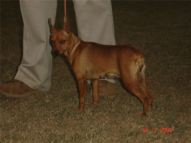 lineup,minpin,, Bareilly Dog Show, DogSpot.in