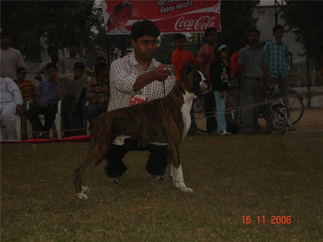 lineup,boxer,, Bareilly Dog Show, DogSpot.in