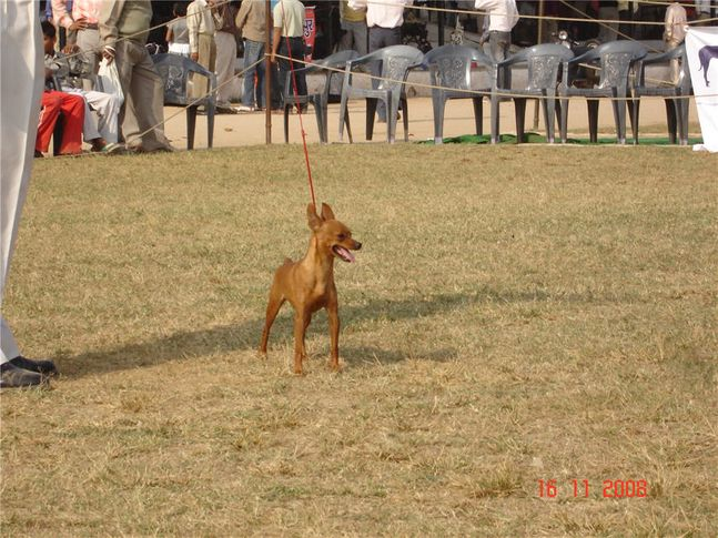 minpin,, Bareilly Dog Show, DogSpot.in