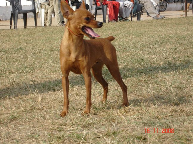 minpin,, Bareilly Dog Show, DogSpot.in