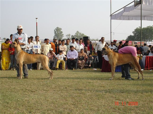 greatdane,, Bareilly Dog Show, DogSpot.in