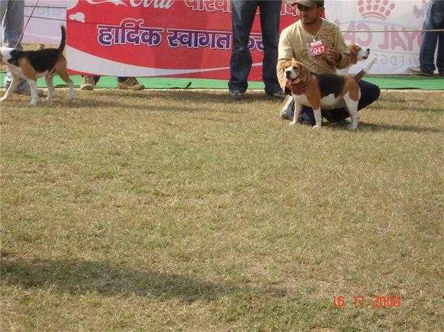 beagle, Bareilly Dog Show, DogSpot.in