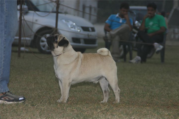 lineup,pug,, Bareilly Dog Show, DogSpot.in