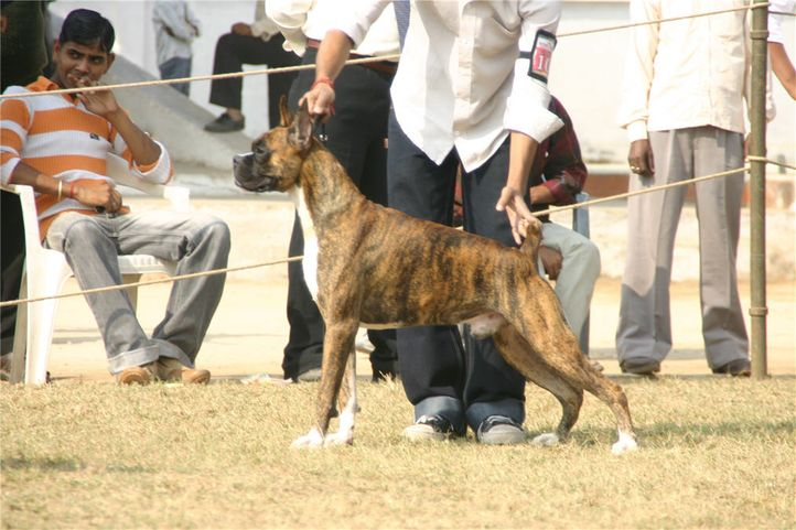 workinggroup,boxer,, Bareilly Dog Show, DogSpot.in