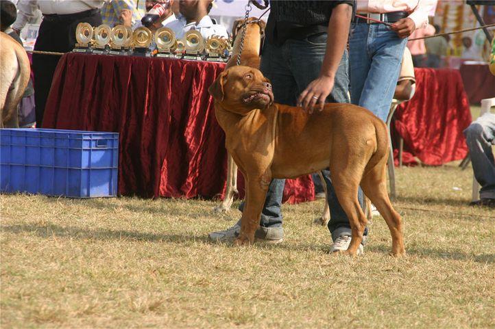 workinggroup,mastiff,, Bareilly Dog Show, DogSpot.in
