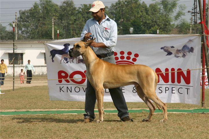 greatdane,ring2,, Bareilly Dog Show, DogSpot.in