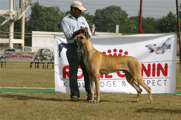 greatdane,ring2,, Bareilly Dog Show, DogSpot.in