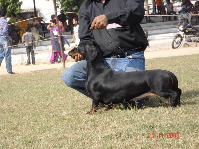 dachshund,, Bareilly Dog Show, DogSpot.in