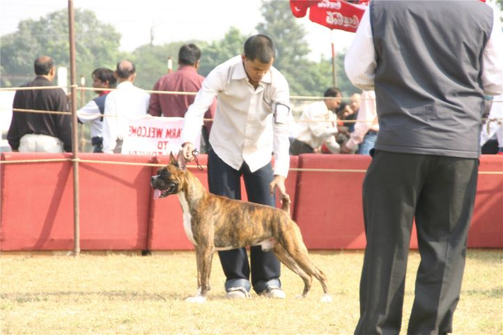 boxer,, Bareilly Dog Show, DogSpot.in