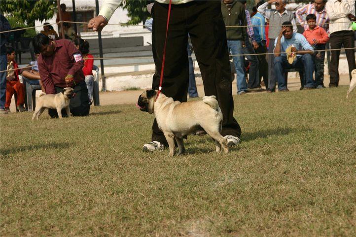 pug,, Bareilly Dog Show, DogSpot.in