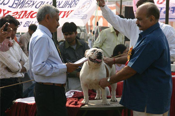 bulldog,, Bareilly Dog Show, DogSpot.in