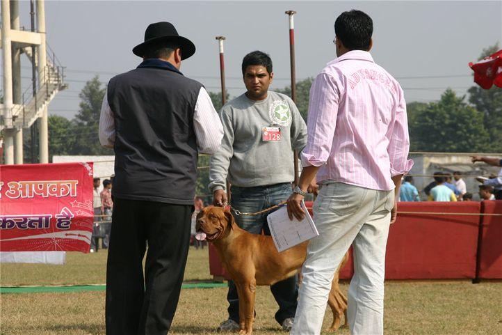mastiff,, Bareilly Dog Show, DogSpot.in