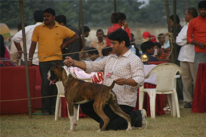 boxer,lineup,, Bareilly Dog Show, DogSpot.in
