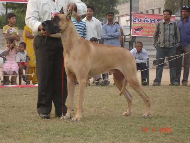 lineup,greatdane,, Bareilly Dog Show, DogSpot.in