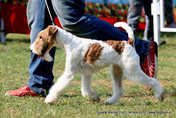 sw-64, ex-33,fox terrier,, FIERY FOX SAFARI, Fox Terrier- Weired Hair, DogSpot.in