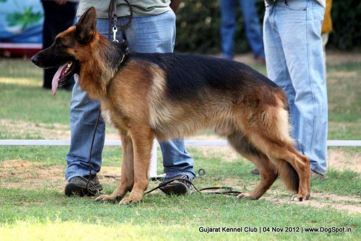 sw-64, alsatian,ex-162,gsd,sw-64,, CASSANDAR'S DARK LINE, German Shepherd Dog, DogSpot.in