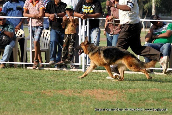 sw-64, alsatian,ex-168,gsd,sw-64,, YASHRAJ'S FABIA, German Shepherd Dog, DogSpot.in