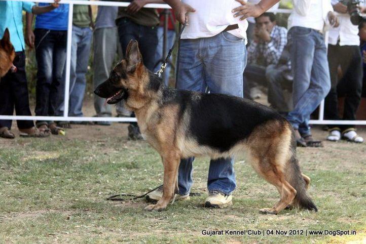 sw-64, alsatian,ex-170,gsd,sw-64,, NANCY, German Shepherd Dog, DogSpot.in