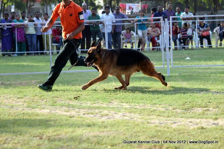 sw-64, alsatian,ex-172,gsd,sw-64,, YAKO VON NOORT, German Shepherd Dog, DogSpot.in