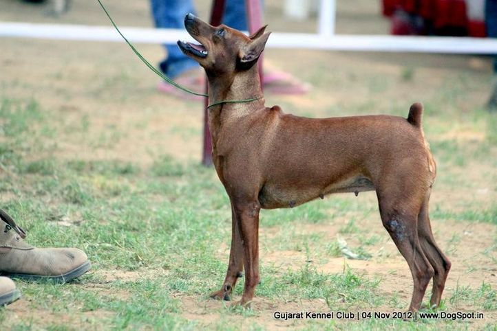 sw-64, ex-7,miniature pincher,sw-64,, KNUCKLE DUST'S MOLTRESS, Miniature Pinscher, DogSpot.in