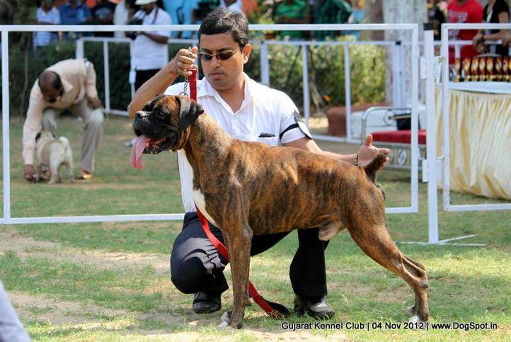 sw-64, boxer,ex-92,sw-64,, Baroda Dog Show 4th Nov 2012, DogSpot.in