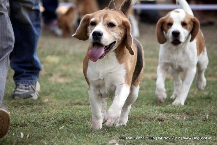sw-64, beagle,ex-47,sw-64,, CIE. MULTI CH KARAKUSH FIVE 'OCLOCKSHADO OF MISTYWATERS, Beagle, DogSpot.in