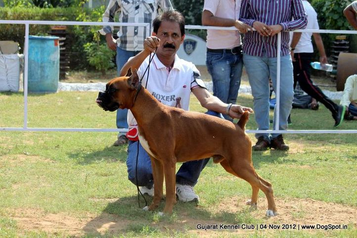 sw-64, boxer,sw-64,, Baroda Dog Show 4th Nov 2012, DogSpot.in