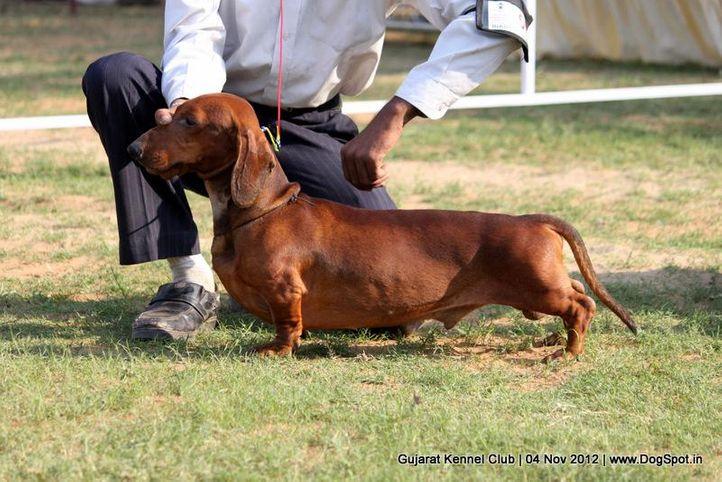 sw-64, dachshund,ex-55,sw-64,, KAPPENBERG'S ZIPPY ZEDEKIAH, Dachshund Standard- Smooth Haired, DogSpot.in