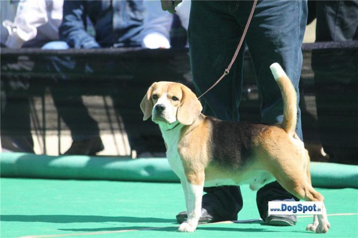 sw-1,ex-41,beagle,, TH. IND. CH. DEESAMER'S BLOSSOM, Beagle, DogSpot.in