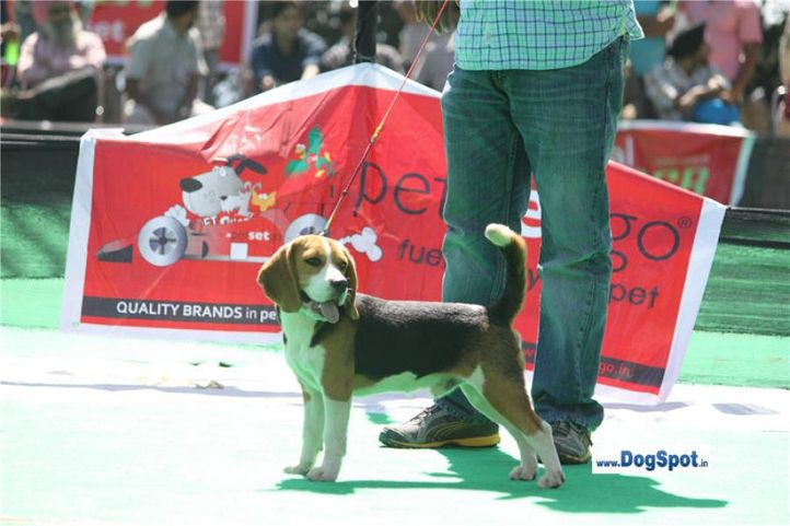 sw-1,ex-29,beagle,, JACK, Beagle, DogSpot.in