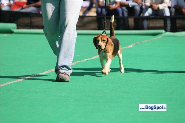 sw-1,ex-35,beagle,, CH. SUMALIK'S HIGH VOLTEZE, Beagle, DogSpot.in