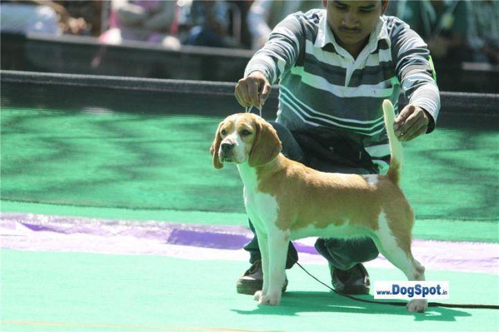 sw-1,ex-36,beagle,, CELEBRATION OF SUNNYLAND, Beagle, DogSpot.in