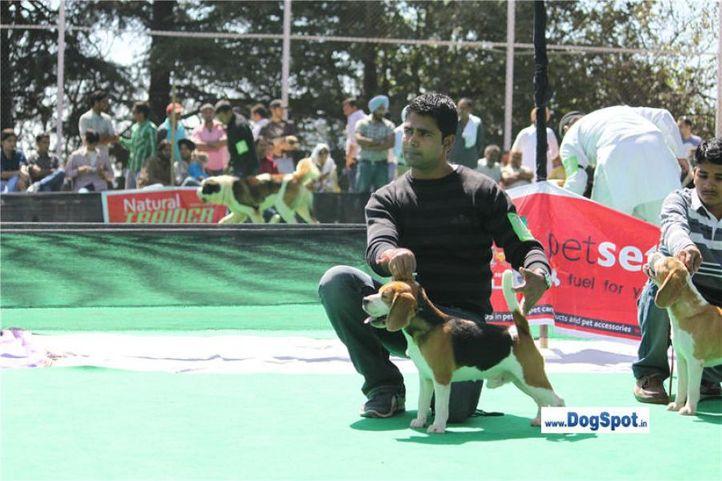 beagle,, Beagle  Shimla 2010, DogSpot.in