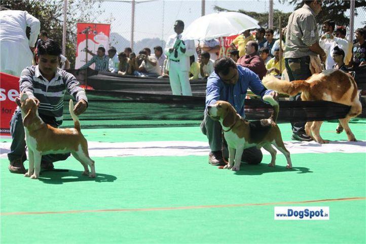 beagle,, Beagle| Shimla 2010, DogSpot.in
