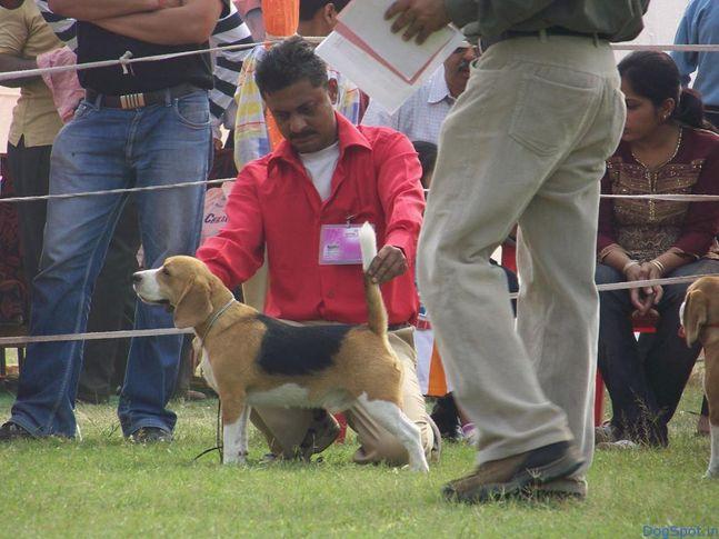 Beagle, Beagle, DogSpot.in