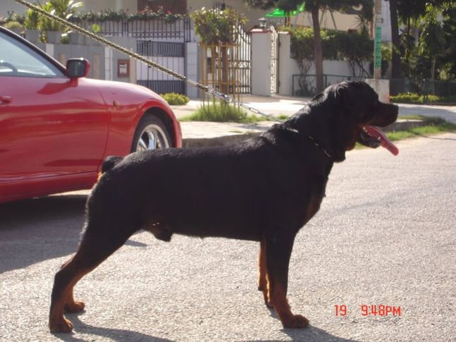 , BERWIN'S GORBI (SURE SHOT KENNEL), DogSpot.in