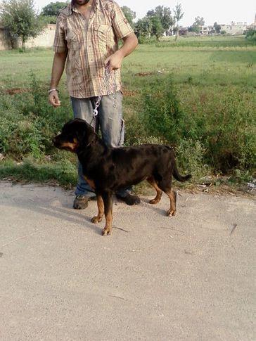 , BERWIN'S GORBI (SURE SHOT KENNEL), DogSpot.in