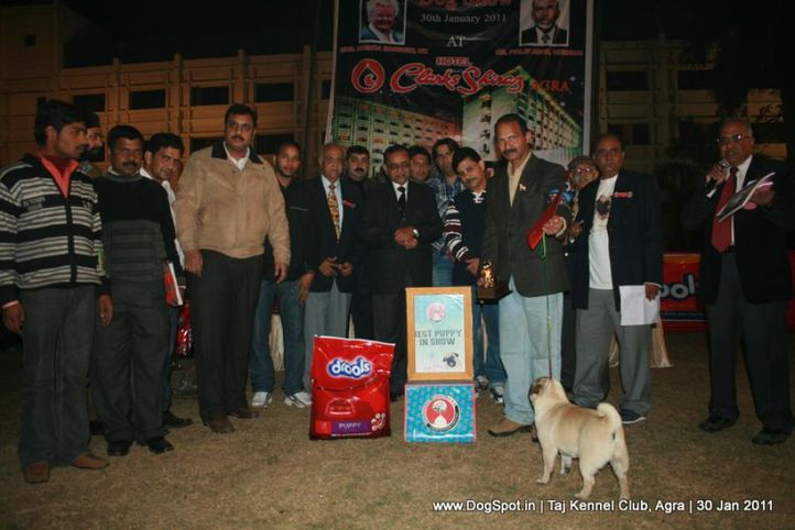 ex-9,lineup,sw-31,, SHIV VEDS ANNAK, Pug, DogSpot.in